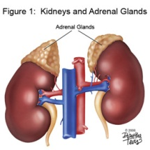 page13-adrenal_4-2.jpg